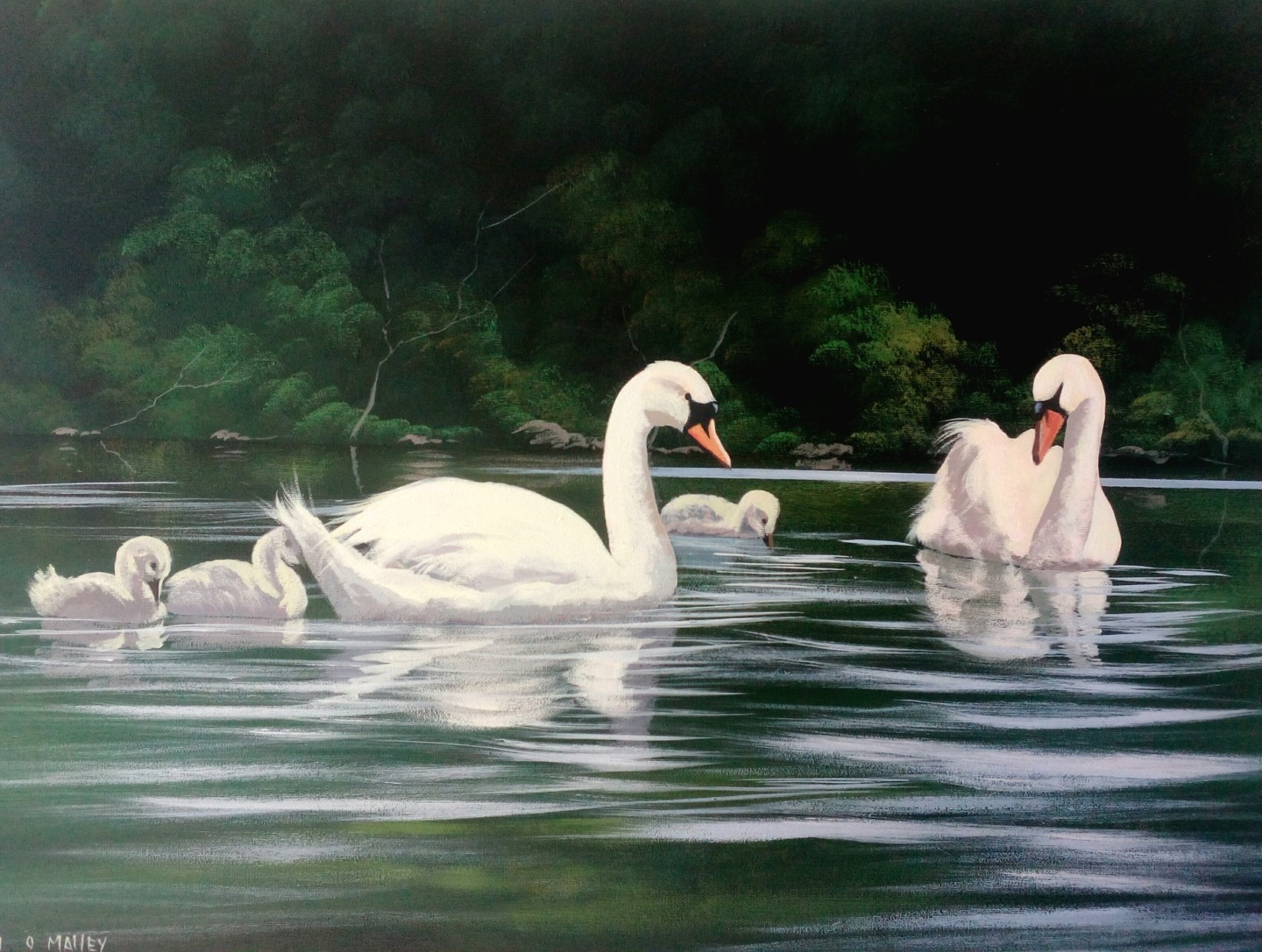 Cathal O Malley - Renvyle swans